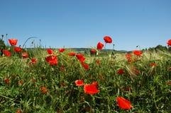 пшеница маков поля Стоковая Фотография