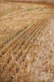 Пшеница напольно Селективный фокус Стоковое Изображение RF
