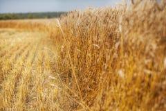 Пшеница напольно Селективный фокус Стоковые Фото