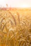 Пшеница на поле Стоковые Изображения
