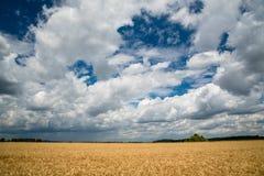 пшеница неба голубого поля золотистая Стоковые Изображения RF