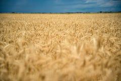 пшеница неба голубого поля золотистая Стоковое фото RF
