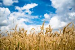 пшеница неба голубого поля золотистая Стоковая Фотография RF