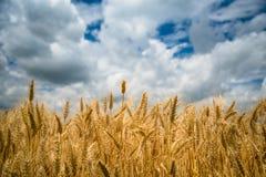 пшеница неба голубого поля золотистая Стоковые Фото