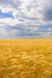 пшеница неба голубого поля золотистая Стоковое Фото