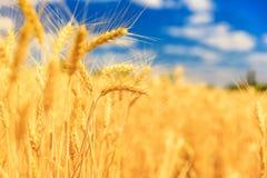 пшеница неба голубого поля предпосылки золотистая Стоковое Изображение RF