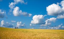 пшеница неба голубого поля предпосылки золотистая Стоковое фото RF