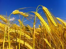 пшеница неба голубого поля золотистая Стоковая Фотография