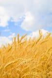 пшеница неба предпосылки голубая, котор заволокли золотистая Стоковые Фотографии RF