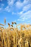 пшеница неба Стоковое Фото