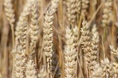 Пшеница немногое более близкое Стоковая Фотография RF