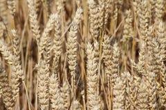 Пшеница немногое более близкое Стоковые Изображения