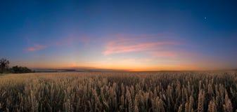пшеница ночи поля Стоковая Фотография