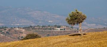 пшеница оливкового дерева поля Стоковые Фото