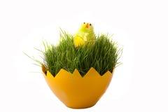 Пшеница пасхи зеленая молодая на белой предпосылке Стоковые Изображения