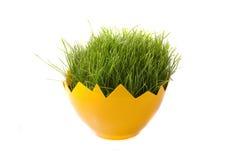 Пшеница пасхи зеленая молодая на белой предпосылке Стоковое Изображение RF