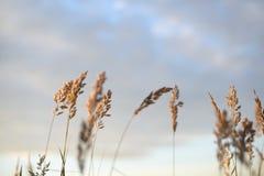Пшеница перед предпосылкой вечера запачканной небом Стоковое Изображение RF