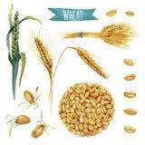Пшеница, покрашенный вручную комплект акварели Стоковая Фотография RF