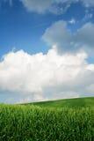пшеница полей зеленая Стоковые Изображения RF