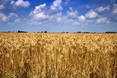 пшеница поля возмужалая Стоковое Изображение