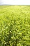 пшеница поля дня ветреная Стоковые Фото