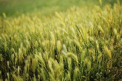 пшеница поля естественная Стоковые Изображения