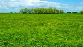 пшеница поля зеленая Стоковое фото RF