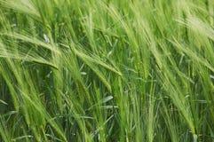 пшеница поля зеленая Стоковое Изображение