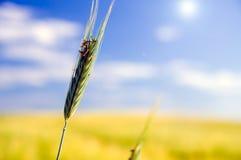 пшеница поля земледелия Стоковое Изображение