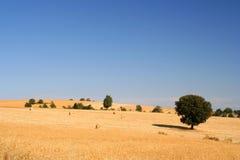 пшеница поля золотистая Стоковое Изображение RF