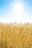 пшеница поля золотистая Стоковые Изображения RF