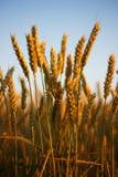 пшеница поля золотистая Стоковое Изображение