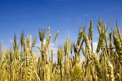 пшеница поля золотистая Стоковые Фото