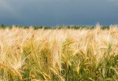 пшеница поля золотистая Стоковая Фотография RF