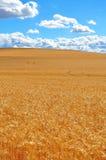 пшеница поля зрелая Стоковое Фото