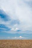пшеница поля зрелая Стоковое Изображение RF