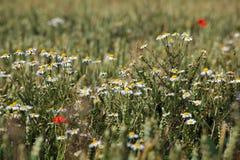 пшеница поля маргариток одичалая Стоковое Фото