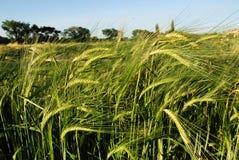 пшеница поля осени стоковое фото rf