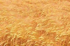 пшеница поля предпосылки золотистая зрелая Стоковая Фотография RF