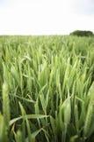пшеница поля растущая Стоковое Изображение
