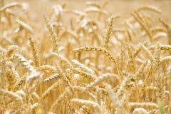 пшеница поля ушей детали предпосылки Стоковые Изображения RF