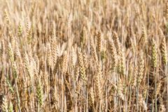 пшеница поля ушей детали предпосылки Стоковые Фотографии RF
