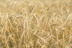 пшеница поля Уши золотого крупного плана пшеницы Ландшафт красивой природы сельский в ярком солнечном свете Стоковые Изображения RF