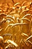 пшеница поля Стоковое фото RF