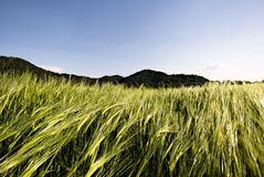 пшеница поля стоковые изображения rf