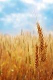 пшеница поля
