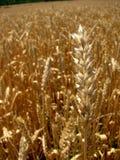 пшеница поля Стоковое Фото