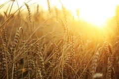 пшеница поля Стоковые Изображения