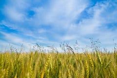 пшеница поля Стоковое Изображение RF