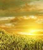 пшеница поля Стоковые Фотографии RF